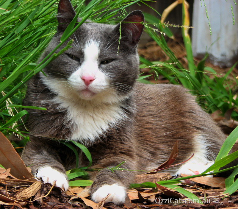 Manya The Cat - Ozzi Cat