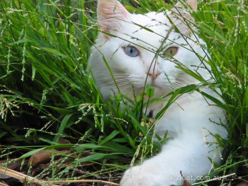 White cat Musty is laying down in grass | Ozzi Cat - Australian National Cat Magazine