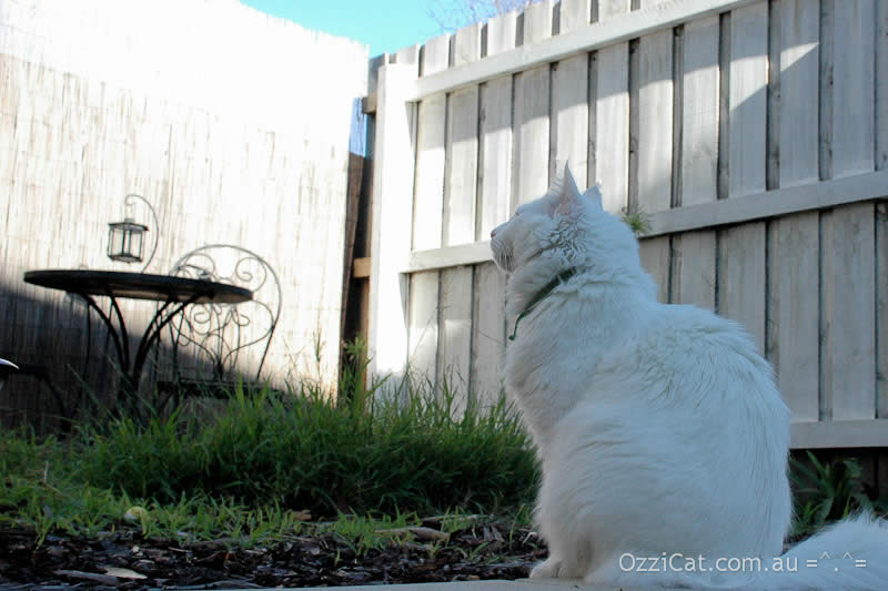 White cat Musty is looking at a fence | Ozzi Cat - Australian National Cat Magazine