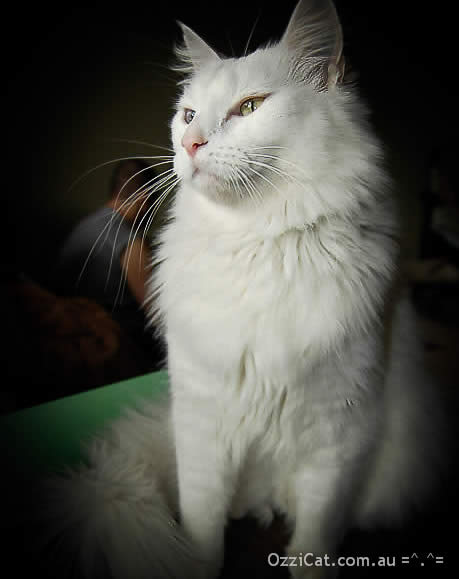 White cat Musty is proudly sitting | Ozzi Cat - Australian National Cat Magazine