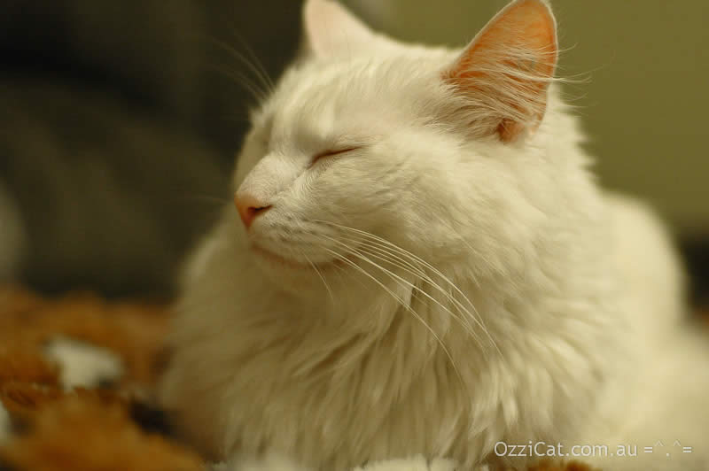 White cat Musty is sleeping like a lion | Ozzi Cat - Australian National Cat Magazine