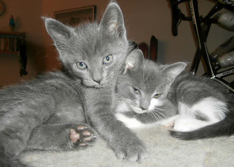 A pair of cute grey kittens together