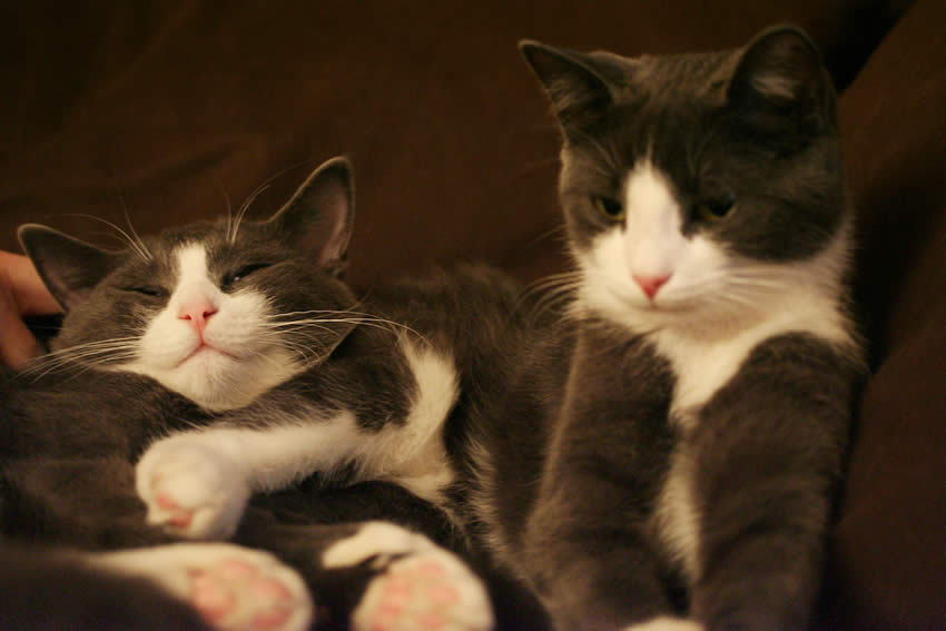 Cat Linus and Ada - a brother and a sister: A pair of adorable grey and white cats | Ozzi Cat - Australian National Cat Magazine