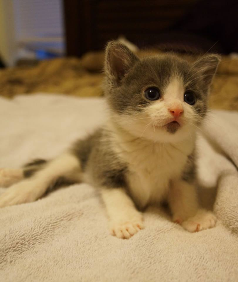 Jefferson, a special needs paralyzed kitten