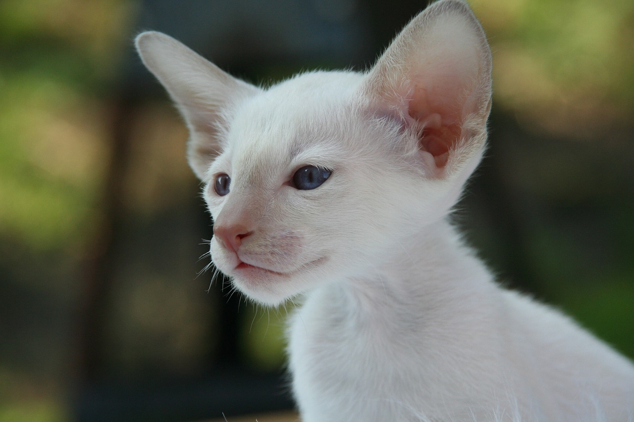 White Siamese Kitten - Cat With Big Ears