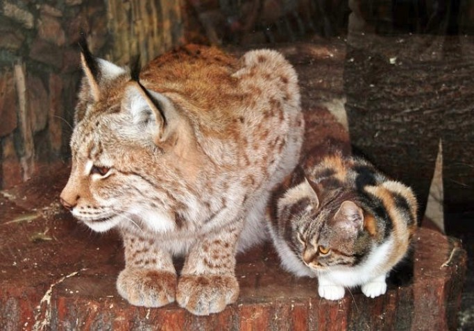Stray calico cat and lynx in Russia's Zoo in St. Petersburg - unusual friendship between a cat and wild cat