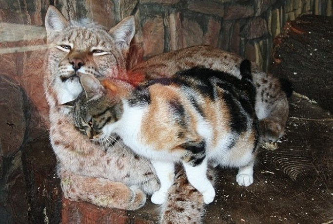 stray calico cat - Unusual Adorable video - Friendship Cat Lynx at Zoo