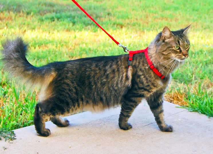 Tabby Cat On Leash