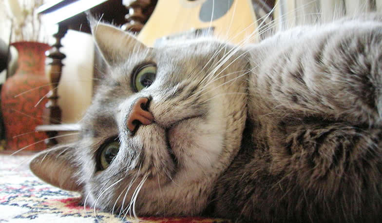 Tabby cat - silver