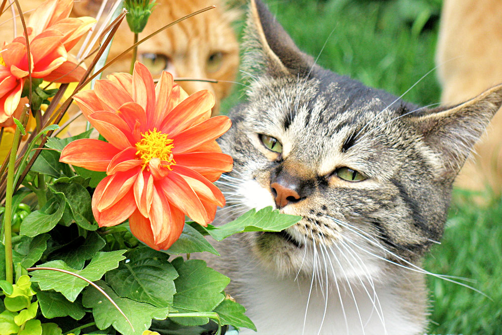 Tabby cat sniffing red flower - garden green leaves - ginger cats