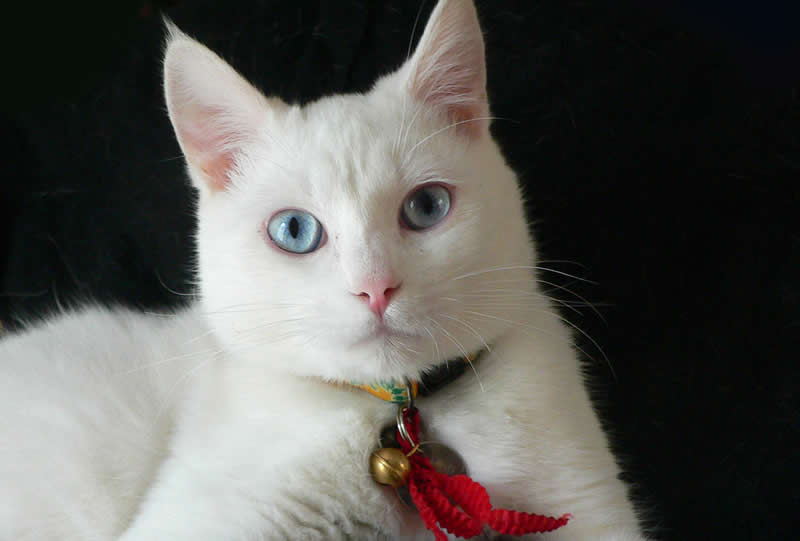 White cat with same coloured eyes